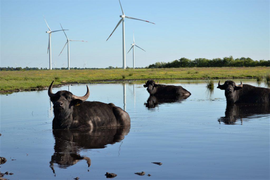 Die Wasserbüffel. © Hof Barslund